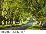 Купить «Cyclist riding along a beautiful beech lined country lane, Wimborne, Dorset, England, United Kingdom, Europe», фото № 13542457, снято 4 августа 2020 г. (c) age Fotostock / Фотобанк Лори