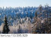 Купить «Зимний многоярусный лес», фото № 13595929, снято 24 ноября 2015 г. (c) Артемий Усатов / Фотобанк Лори