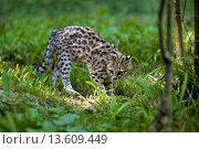 Купить «TIGER CAT OR ONCILLA leopardus tigrinus», фото № 13609449, снято 22 июля 2019 г. (c) age Fotostock / Фотобанк Лори
