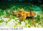 Купить «Crested bullhead shark on sandy bottom, Jervis Bay, south coast New South Wales, Australia», фото № 13640157, снято 24 мая 2018 г. (c) age Fotostock / Фотобанк Лори
