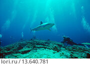 Купить «Silvertip shark and scuba divers, North Queensland, Australia», фото № 13640781, снято 23 января 2020 г. (c) age Fotostock / Фотобанк Лори