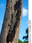 Lace monitor climbing tree, forked tongue extended, Cardwell Range, North Queensland, Australia. Стоковое фото, фотограф Auscape / UIG / age Fotostock / Фотобанк Лори