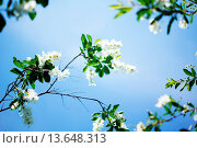 Купить «Spring time: blooming jasmine bushes in the garden», фото № 13648313, снято 19 ноября 2017 г. (c) age Fotostock / Фотобанк Лори