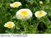 Купить «Хризантема корончатая махровая (лат. Chrysanthemum coronarium)», эксклюзивное фото № 13669025, снято 18 июля 2015 г. (c) Елена Коромыслова / Фотобанк Лори