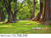 Купить «Sri Lanka - Kandy, Peradeniya Botanic Garden, central region of Sri Lanka Island», фото № 13708349, снято 18 июля 2019 г. (c) age Fotostock / Фотобанк Лори