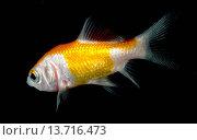 Купить «A Comet goldfish (Carassius auratus) swimming in an aquarium at the King's Lynn Koi Centre Norfolk», фото № 13716473, снято 15 июля 2020 г. (c) age Fotostock / Фотобанк Лори