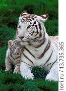 Купить «White Tiger, panthera tigris, Mother with Cub.», фото № 13735365, снято 10 июля 2020 г. (c) age Fotostock / Фотобанк Лори
