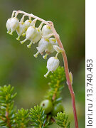 Купить «one-sided wintergreen, serrated wintergreen, sidebells (Orthilia secunda, Pyrola secunda), inflorescence, Canada, Kluane National Park», фото № 13740453, снято 23 апреля 2018 г. (c) age Fotostock / Фотобанк Лори