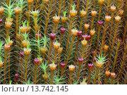 Купить «Hair cap moss (Polytrichum commune), Perichaetia, Germany, Schleswig-Holstein», фото № 13742145, снято 22 августа 2018 г. (c) age Fotostock / Фотобанк Лори
