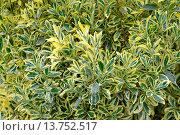 Купить «Japanese Euonymus (Euonymus japonicus 'Aureomarginatus', Euonymus japonicus Aureomarginatus), cultivar Aureomarginatus», фото № 13752517, снято 16 июля 2018 г. (c) age Fotostock / Фотобанк Лори