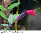 Купить «Aeschynanthus radicans (Aeschynanthus radicans), flower», фото № 13754049, снято 21 марта 2019 г. (c) age Fotostock / Фотобанк Лори
