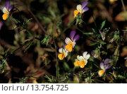 Купить «heart's ease, heartsease, wild pansy, three colored violet (Viola tricolor), blooming, Europe, Germany», фото № 13754725, снято 14 ноября 2019 г. (c) age Fotostock / Фотобанк Лори