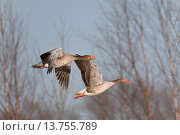 Купить «greylag goose (Anser anser), two individuals flying, Germany, Schleswig-Holstein», фото № 13755789, снято 13 июля 2020 г. (c) age Fotostock / Фотобанк Лори