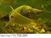 Купить «great pond snail (Lymnaea stagnalis), grating and feeding algae from a glass pane», фото № 13758989, снято 27 мая 2020 г. (c) age Fotostock / Фотобанк Лори