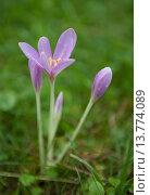 Купить «Wild violet crocuses after the rain», фото № 13774089, снято 25 марта 2019 г. (c) PantherMedia / Фотобанк Лори
