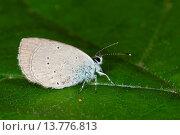 small blue (Cupido minimus), sitting on al leaf, Germany. Стоковое фото, фотограф F. Hecker / age Fotostock / Фотобанк Лори