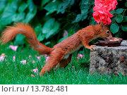 Купить «European red squirrel, Eurasian red squirrel (Sciurus vulgaris), at feeding side in a garden, Germany», фото № 13782481, снято 4 июля 2020 г. (c) age Fotostock / Фотобанк Лори