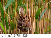 Купить «reed warbler (Acrocephalus scirpaceus), female removing excrementsfrom the nest amonf halms of reed, Germany, Bavaria», фото № 13784329, снято 27 мая 2020 г. (c) age Fotostock / Фотобанк Лори