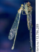 Common blue damselfly, Common bluet damselfly (cyathigera, Enallagma cyathigerum), female hatched from the exuvia with the wings completely unfolded, Germany. Стоковое фото, фотограф F. Hecker / age Fotostock / Фотобанк Лори