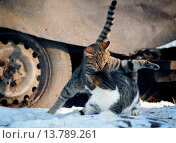 Купить «domestic cat, house cat (Felis silvestris f. catus), two cats scuffling in the snow, Germany», фото № 13789261, снято 25 февраля 2020 г. (c) age Fotostock / Фотобанк Лори