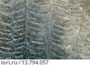 Купить «Callipteris conferta, fossil seed fern, Rotliegend, Lower Silesia», фото № 13794057, снято 22 апреля 2019 г. (c) age Fotostock / Фотобанк Лори