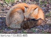 Купить «red fox (Vulpes vulpes), rolled up, Germany, Rhineland-Palatinate», фото № 13803485, снято 20 ноября 2018 г. (c) age Fotostock / Фотобанк Лори