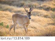 Купить «Wild Deer buck», фото № 13814189, снято 25 марта 2019 г. (c) PantherMedia / Фотобанк Лори