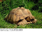 African spurred tortoise (Geochelone sulcata, Centrochelys sulcata ), on grass. Стоковое фото, фотограф B. Trapp / age Fotostock / Фотобанк Лори