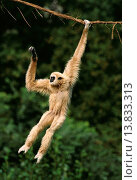 Купить «White-Handed Gibbon, hylobates lar, Adult Hanging from Liana, Asia», фото № 13833313, снято 18 июля 2018 г. (c) age Fotostock / Фотобанк Лори