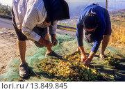 Купить «Women collecting almonds, Ohanes.Alpujarras, Almeria province, Andalucia, Spain.», фото № 13849845, снято 25 февраля 2020 г. (c) age Fotostock / Фотобанк Лори
