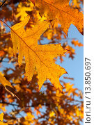 Купить «Дуб красный (Quércus rubra), оранжевый осенний лист  на фоне голубого неба», эксклюзивное фото № 13850697, снято 5 ноября 2015 г. (c) Ирина Водяник / Фотобанк Лори