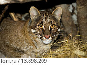 Купить «Asian Golden Cat or Temmink's Cat, catopuma temmincki, Adult.», фото № 13898209, снято 27 ноября 2006 г. (c) age Fotostock / Фотобанк Лори