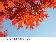 Купить «Красные осенние листья дуба красного (Quércus rubra) на фоне голубого неба», эксклюзивное фото № 14180077, снято 5 ноября 2015 г. (c) Ирина Водяник / Фотобанк Лори