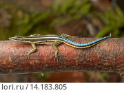 Sawtail lizard, Neon Blue Tailed Tree Lizard (Holaspis guentheri), on a branch. Стоковое фото, фотограф F. Teigler / age Fotostock / Фотобанк Лори