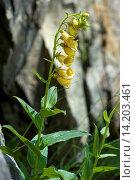 large yellow foxglove, yellow perennial foxglove (Digitalis grandiflora), flowering plant, Switzerland. Стоковое фото, фотограф F. Teigler / age Fotostock / Фотобанк Лори