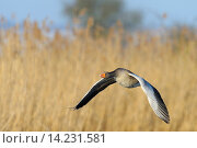 Купить «Greylag goose in flight, Anser anser, Hesse, Germany, Europe.», фото № 14231581, снято 13 июля 2020 г. (c) age Fotostock / Фотобанк Лори