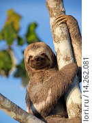 Купить «South America ,Brazil, Amazonas state, Manaus, Amazon river basin, Pale-throated sloth (Bradypus tridactylus).», фото № 14262081, снято 17 октября 2018 г. (c) age Fotostock / Фотобанк Лори