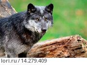 Купить «Timberwolf or wolf male (Canis lupus ssp. occidentalis) captive, Domaine de Sainte Croix, Rhodes, France, Autumn 2013.», фото № 14279409, снято 26 сентября 2013 г. (c) age Fotostock / Фотобанк Лори