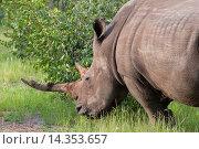 Купить «White rhinoceros (rhino), Ceratotherium simum, Namibia, Africa.», фото № 14353657, снято 26 марта 2010 г. (c) age Fotostock / Фотобанк Лори