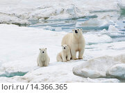Купить «Mother polar bear with two cubs (Ursus Maritimus), Wrangel Island, Chuckchi Sea, Chukotka, Russian Far East, Unesco World Heritage Site.», фото № 14366365, снято 28 июля 2013 г. (c) age Fotostock / Фотобанк Лори