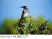 Купить «Australia, cape Le Grande, national park, Lucky Bay, animal, birds, Western Australia», фото № 14386177, снято 15 января 2014 г. (c) age Fotostock / Фотобанк Лори