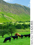 Купить «Bull mounting cow in herd of cattle by Maiden Moor in Derwent Fells, Cumbrian mountains in Lake District National Park, UK», фото № 14426865, снято 21 ноября 2019 г. (c) age Fotostock / Фотобанк Лори