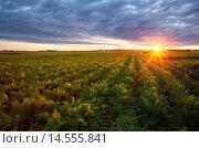 Купить «A mature field of carrots in the Holland marsh at sunrise. Bradford West Gwillimbury, Ontario, Canada.», фото № 14555841, снято 5 июля 2020 г. (c) age Fotostock / Фотобанк Лори