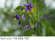 Купить «Паслён сладко-горький — Solanum dulcamara», фото № 14566181, снято 7 июня 2020 г. (c) М Б / Фотобанк Лори