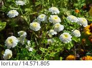 Купить «Белые мелкие хризантемы в саду», эксклюзивное фото № 14571805, снято 30 августа 2015 г. (c) Елена Коромыслова / Фотобанк Лори
