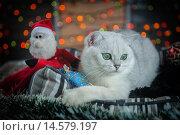 Серебристый затушеванный британский кот в рождественскими игрушками. Стоковое фото, фотограф Postolatii Natalia / Фотобанк Лори