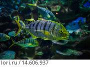 Купить «Рыба в океанариуме», фото № 14606937, снято 8 ноября 2015 г. (c) Литвяк Игорь / Фотобанк Лори
