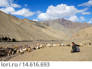 Купить «shepherd and flock of sheep and goat on the path to Stokla pass 4900, Hemis National Park, Ladakh region, state of Jammu and Kashmir, India, Asia», фото № 14616693, снято 25 сентября 2008 г. (c) age Fotostock / Фотобанк Лори