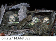 Купить «Skulls of tribal chiefs and warriors, Solomon Islands», фото № 14668385, снято 2 июня 2020 г. (c) age Fotostock / Фотобанк Лори