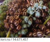 Купить «Mammon, nut, display, Rondonópolis, Mato Grosso, Brazil.», фото № 14671457, снято 21 апреля 2006 г. (c) age Fotostock / Фотобанк Лори